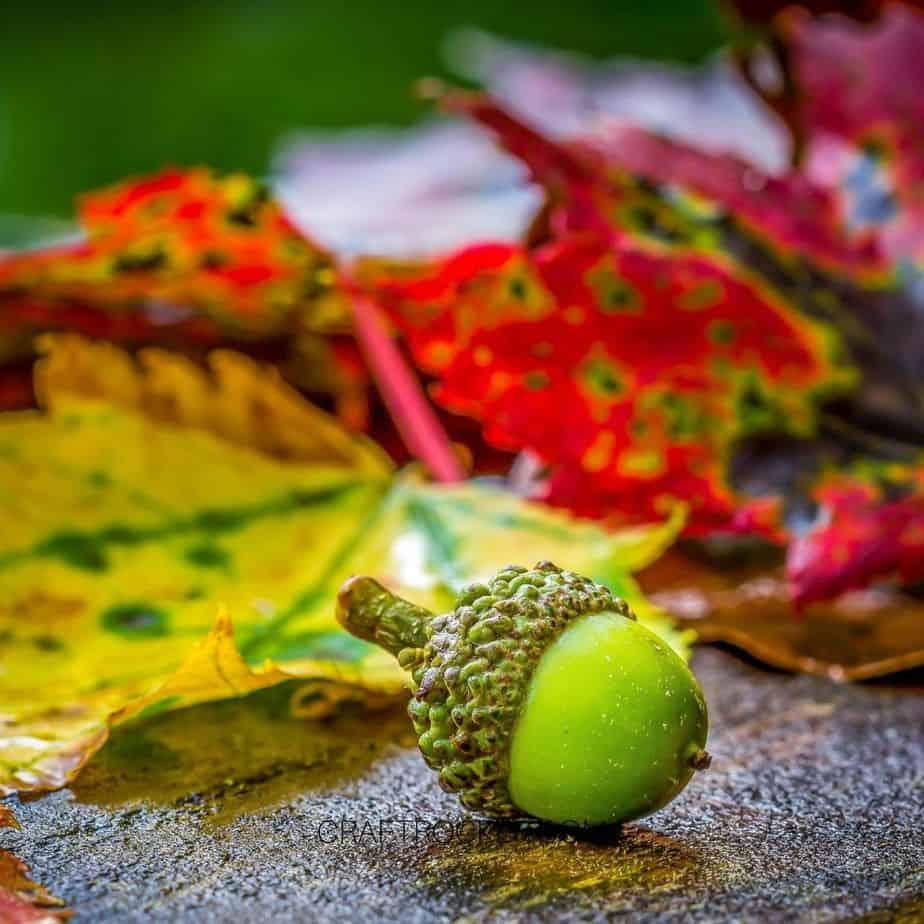 Close Up of Green Acorn with Fall Leaves in Background - Craft Rocker